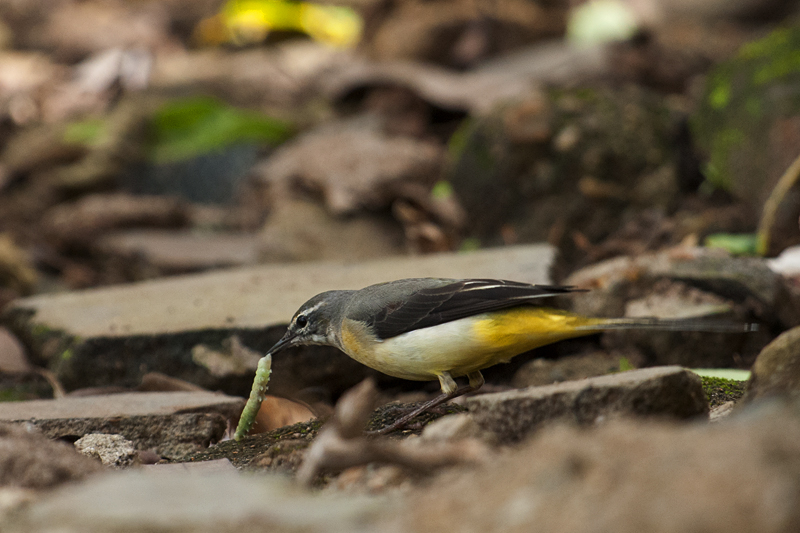 Grey Wagtail with catch