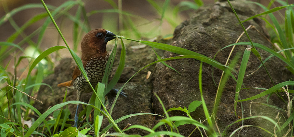 Following a Nest-building Munia around in BR Hills