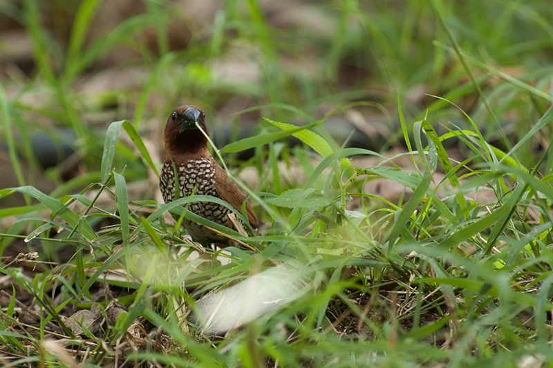 Munia picking grass