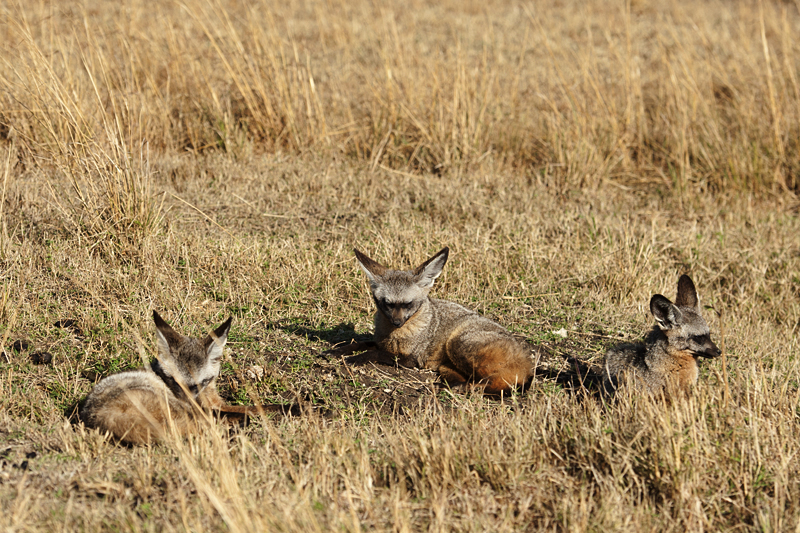 Bat-eared fox Skulk
