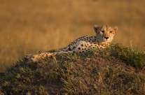 Into the Twilight zone with a Cheetah