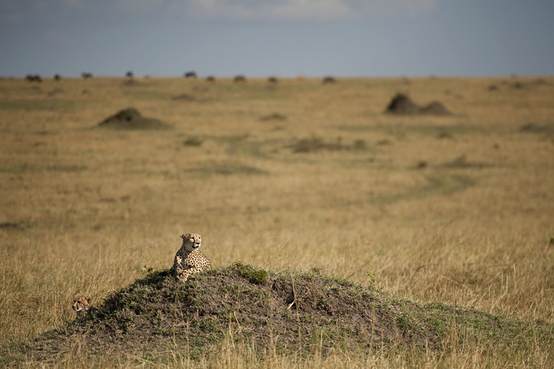 Cheetah and cub in Masai Mara plains