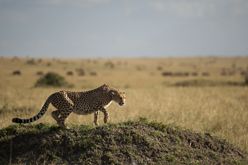 Cheetah climbing onto a termit mound 0548