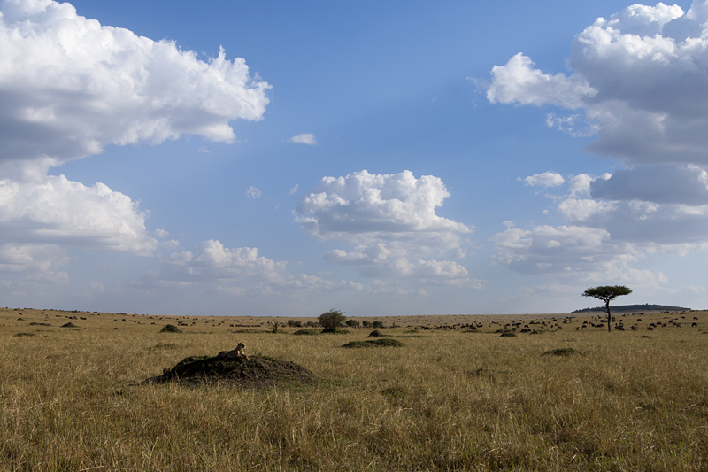 Cheetah with cub in Masai Mara Reserve