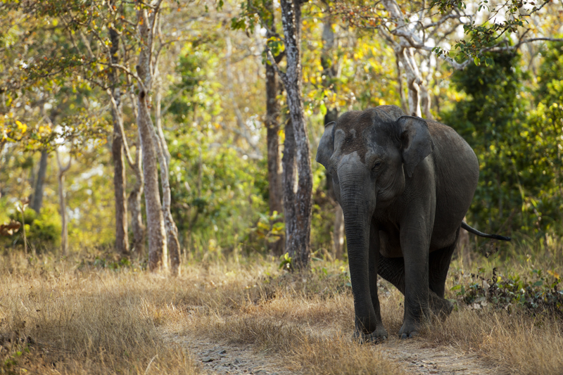 Elephant in Bandipur National Park