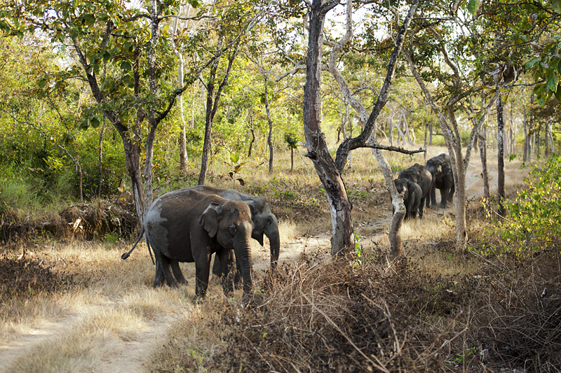 Elephant Herd in Bandipur National Park