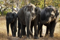 A Charging Elephant in Bandipur National Park