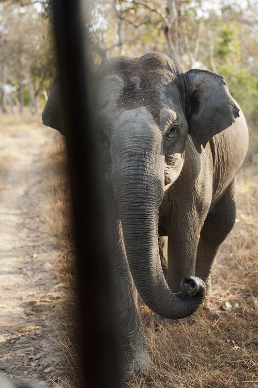 Mock charging Elephant