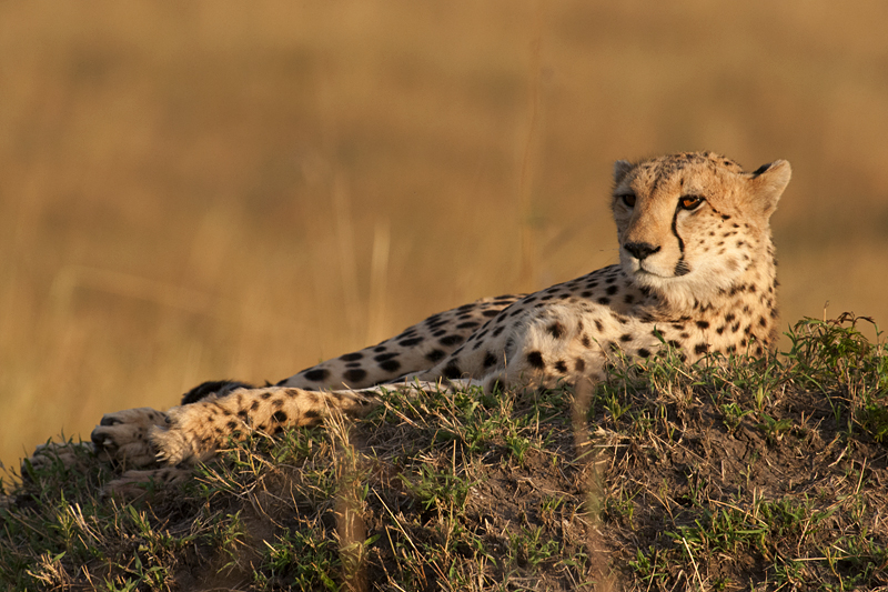 Relaxing Cheetah
