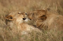 A morning with a pride of African Lions in Masai Mara