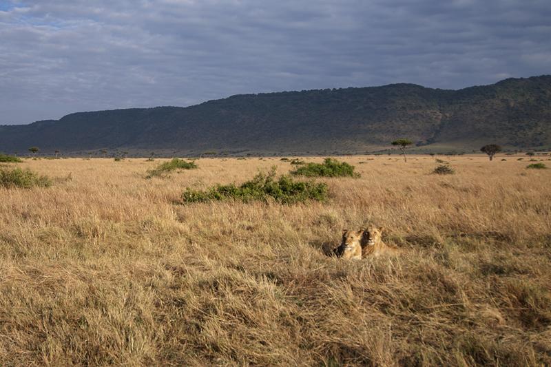 African Lions in Masai Mara