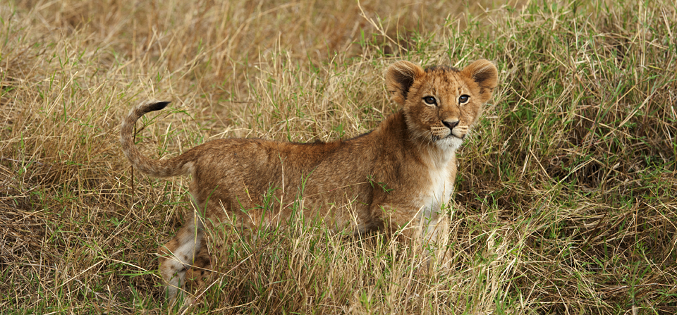 An evening with a Lioness and her curious cubs in Masai Mara