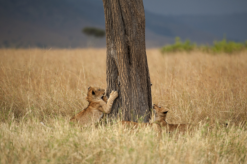 Lion cubs playing with tree