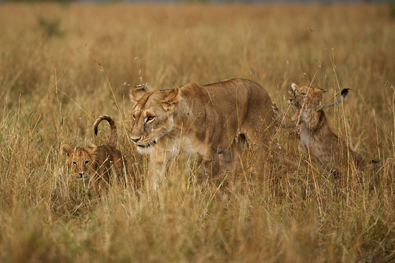 Lioness and cubs walking through tall grass
