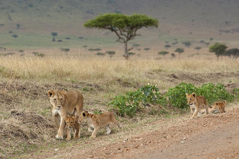 Lioness shepherding cubs