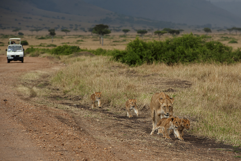 Lioness walking along road with cubs