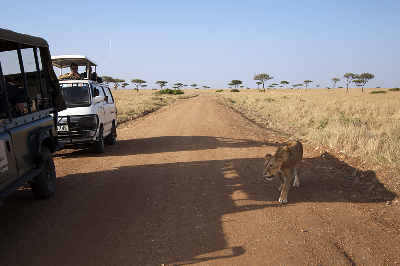 Lioness walking past jeeps