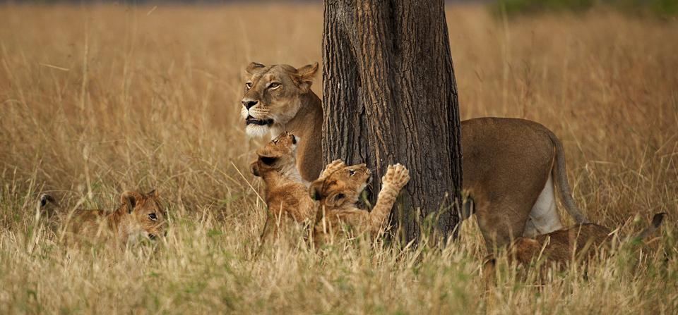 African Lioness shepherding her cubs in Masai Mara