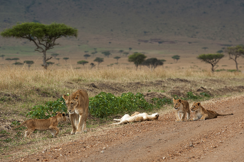 Lioness with cubs - resting