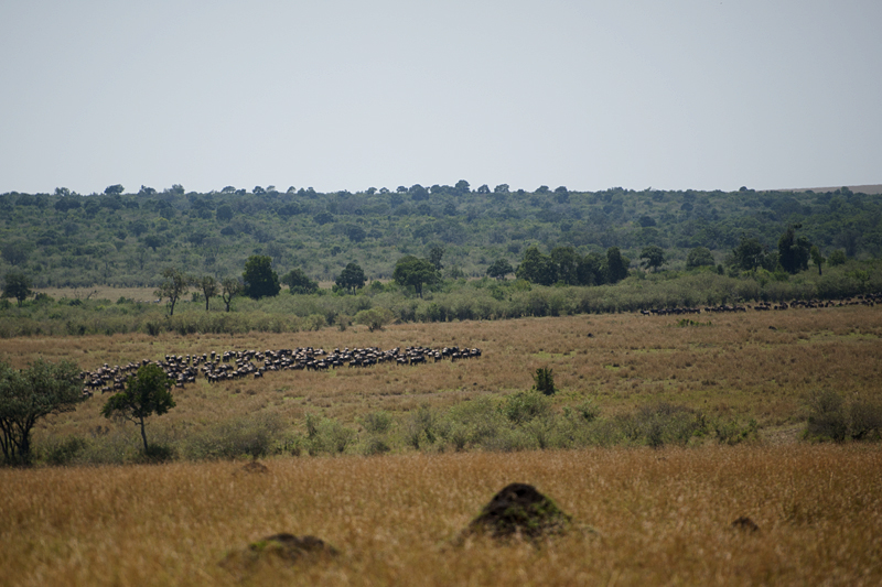 Merging herds of Wildebeest