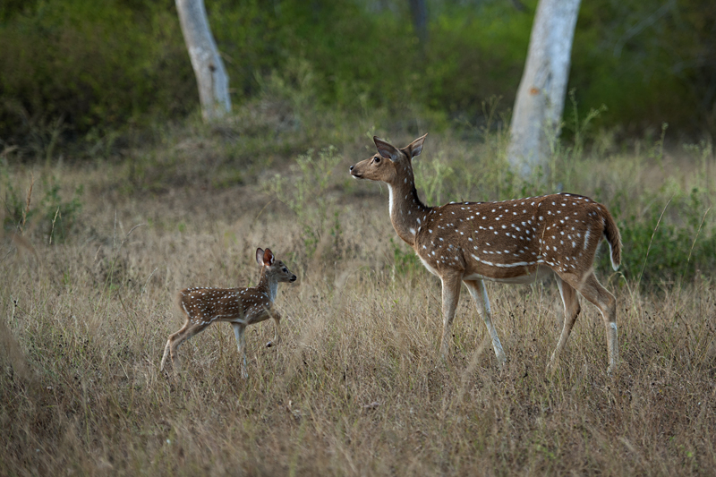 Spotted Deer Fawn seeking mother