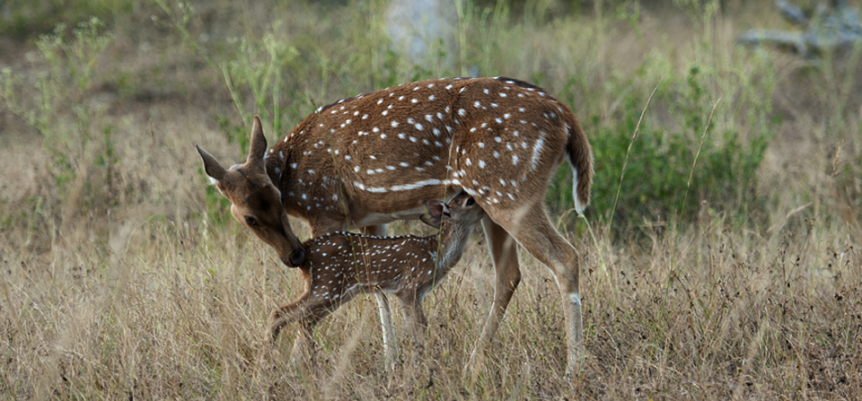 Perfectly camouflaged fawn exposed by protective mother