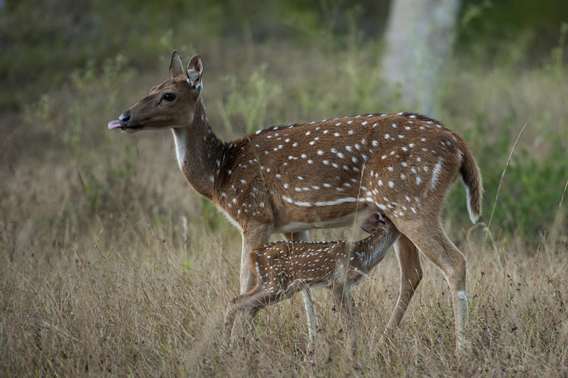 Spotted Deer mother and fawn