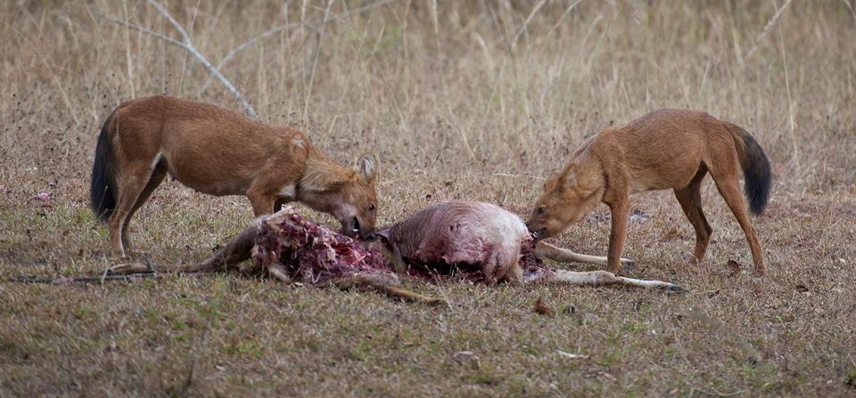 Wild Dogs at a Spotted Deer kill