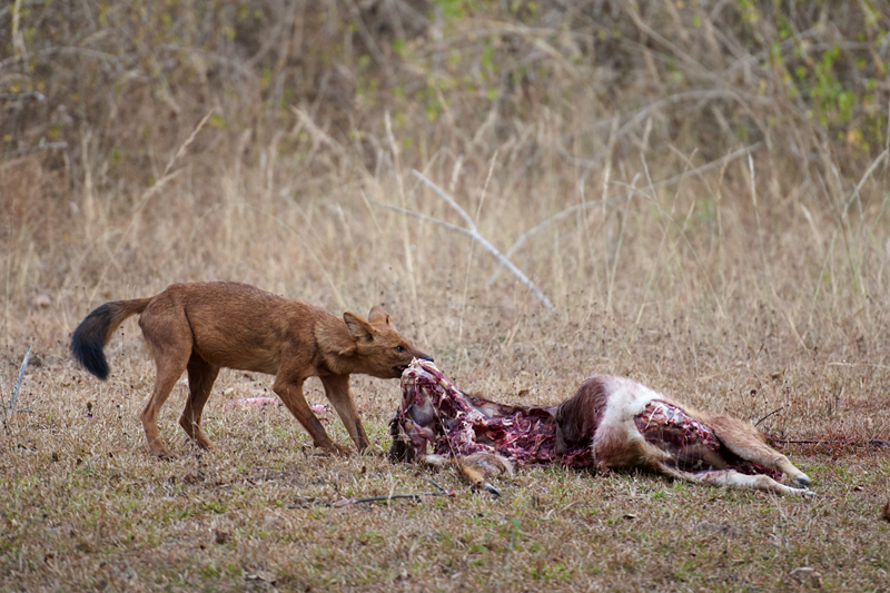 Wild Dogs feeding on Spotted Deer