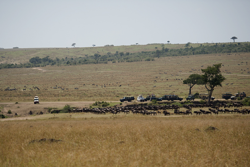 Wildebeest at major crossing point