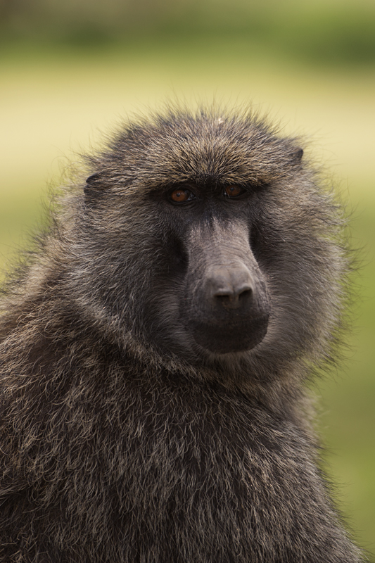 Dominant Male Baboon