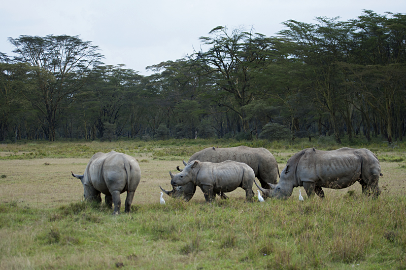 Herd of Rhinoceros