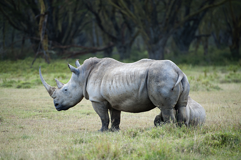 Rhinoceros with suckling calf