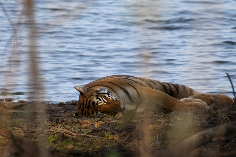 Sleeping Tigress