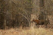 In pursuit of a Tigress in Tadoba Tiger Reserve