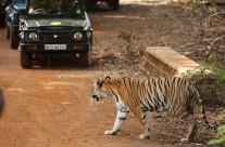 Glimpses of a Tigress in Tadoba Tiger Reserve