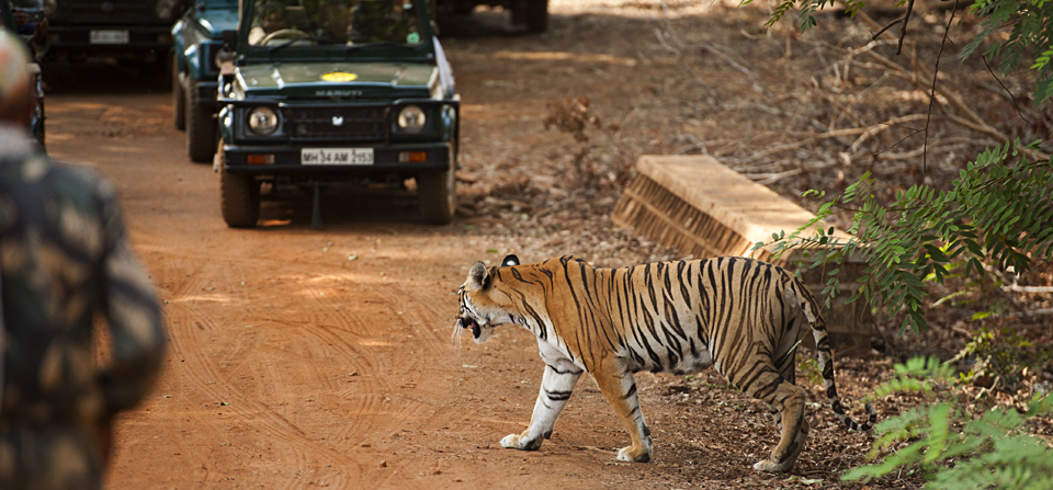 Glimpses of a Tigress in Tadoba Tiger Reserve