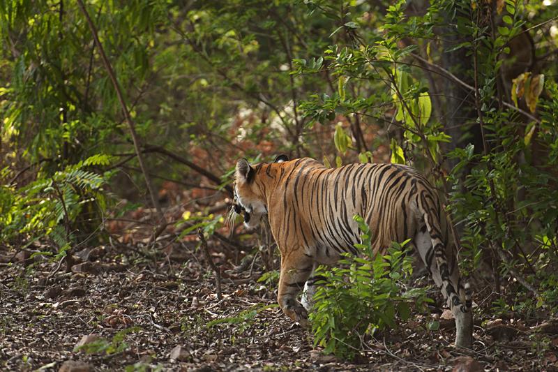 Tigress strokking towards a waterhole