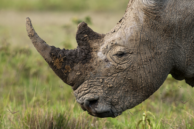 White Rhinoceros in Lake Nakuru