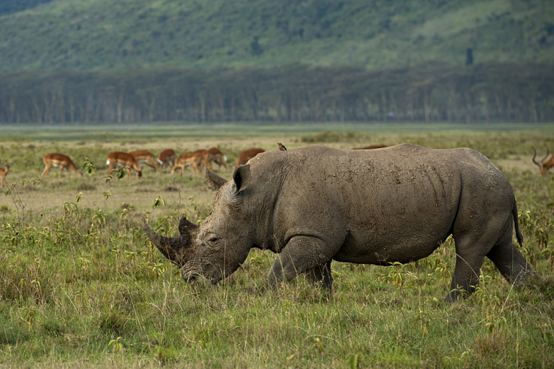 White Rhinoceros grazing in Lake Nakuru