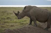 Close encounter with a White Rhinoceros in Lake Nakuru