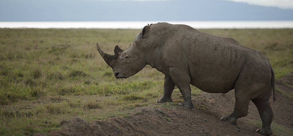Close encounter with a White Rhinoceros in Lake Nakuru