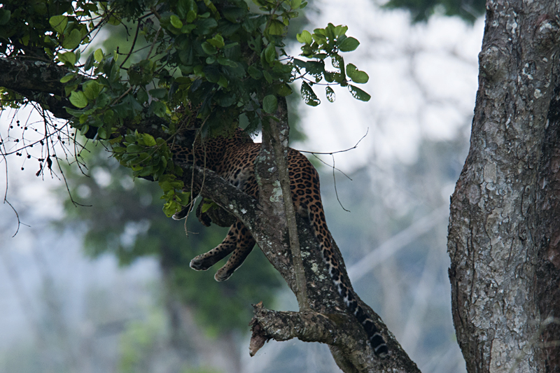 Camouflaged Leopard in Bandipur