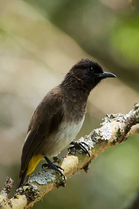 Common Bulbul  in Sarova Lion Hill Game Lodge