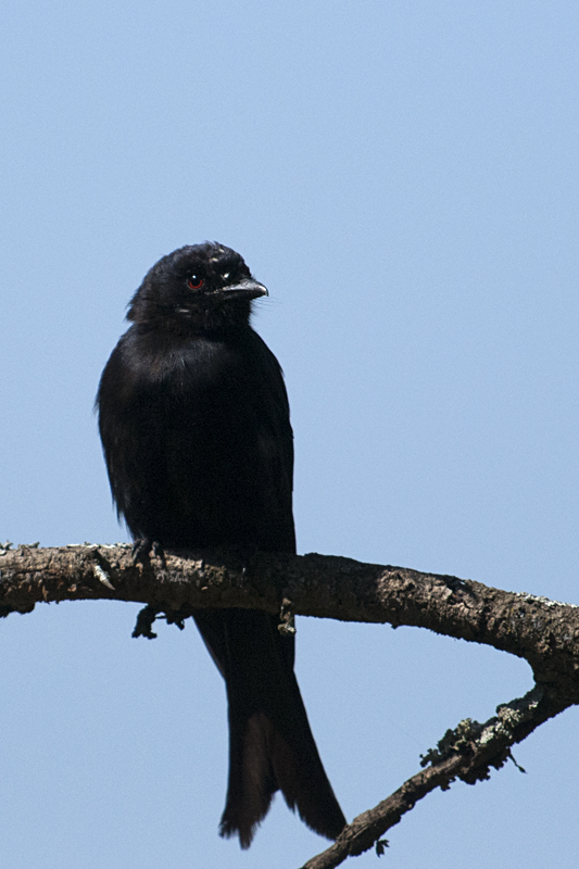 Common Drongo  in Sarova Lion Hill Game Lodge