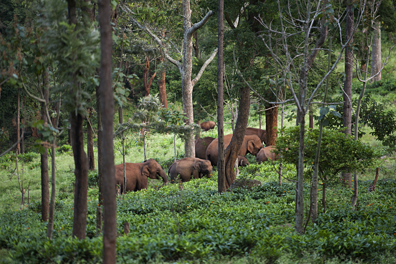 Elephant herd grazing within the Tea Plantation
