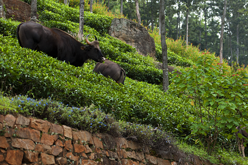 Gaur grazing in the Tea Plantation