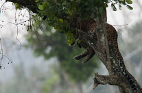 Perfectly camouflaged Leopard spotted in Bandipur