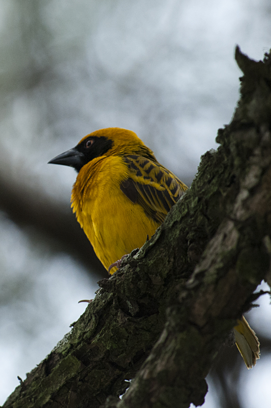 Speke's Weaver  in Sarova Lion Hill Game Lodge