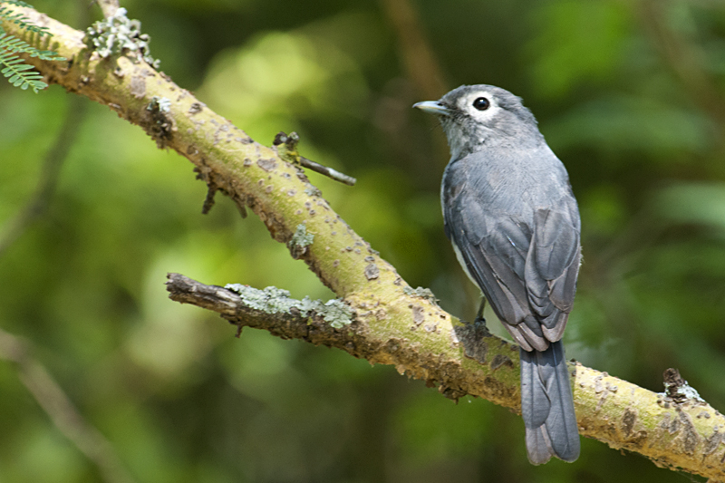 White-eyed Slaty Flycatcher in Lake Nakuru